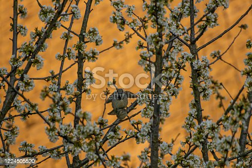 521620252 istock photo House sparrows mating on blossom tree 1224505520