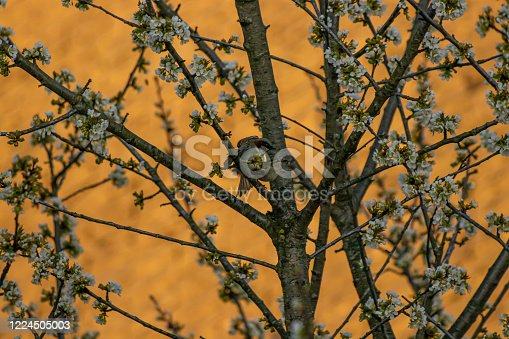 521620252 istock photo House sparrows mating on tree 1224505003