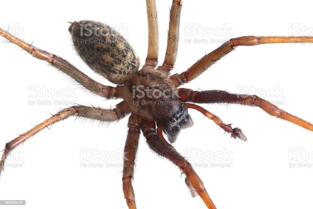 House spider (tegenaria artrica) stock photo