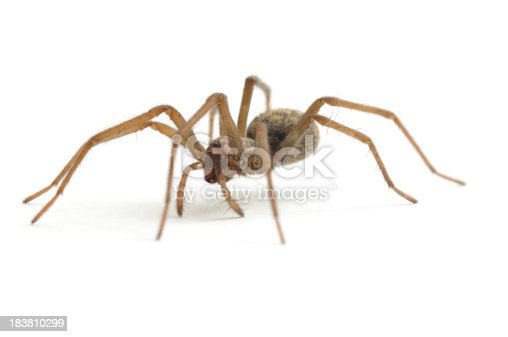 A low level shot of a female house spider(Tegenaria domestica) isolated on a white background.