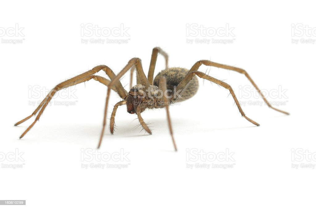 House Spider walking stock photo