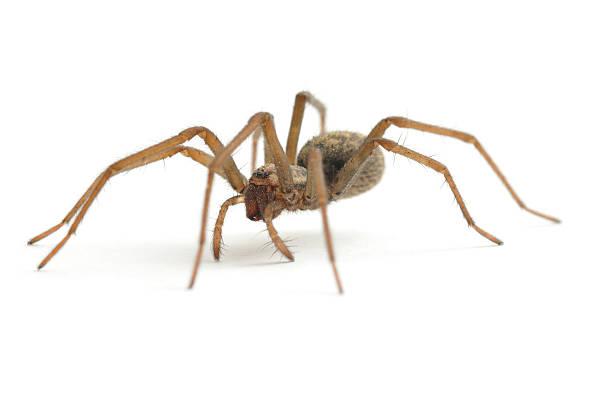 araignée de maison à pied - araignée photos et images de collection