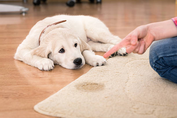 house training of guilty puppy stock photo
