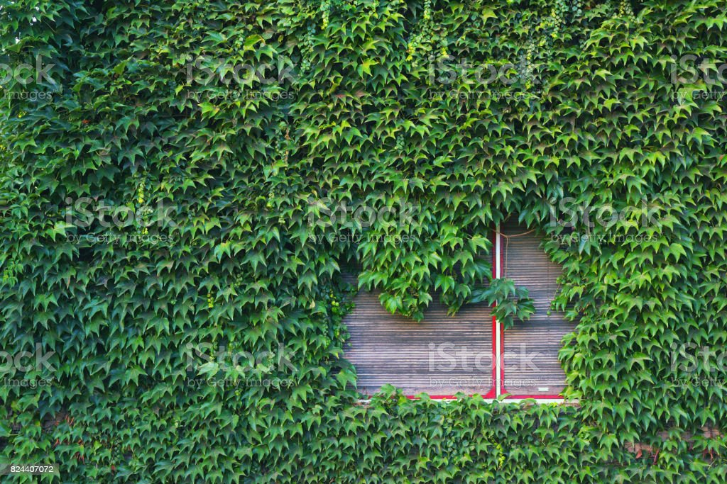 House wall and windows completely covered with crawler plant leaves stock photo