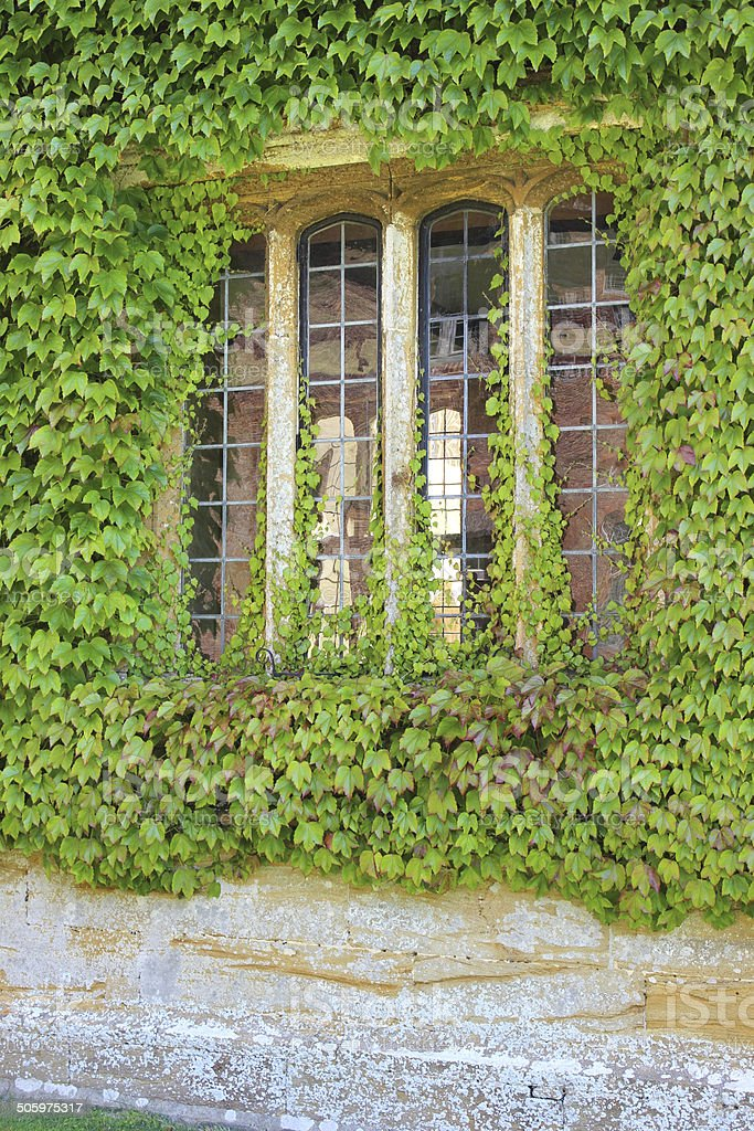 House wall / overgrown window, covered in Virginia creeper (Parthenocissus quinquefolia) royalty-free stock photo