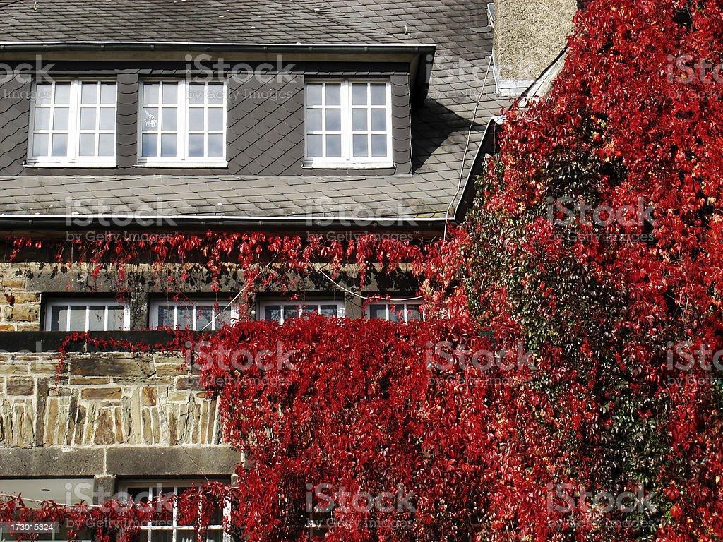 House with wild wine stock photo