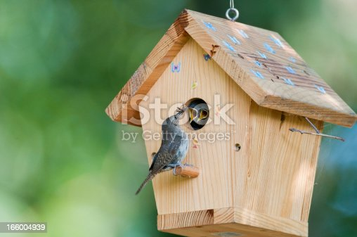 House wren feeds bug to baby birds in backyard birdhouse