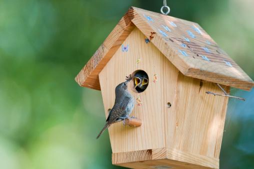 House wren feeds bug to baby birds in backyard birdhouse
