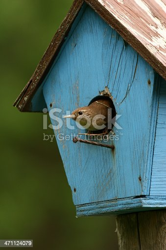 A little House Wren pokes its head out of its old, blue, nesting box.