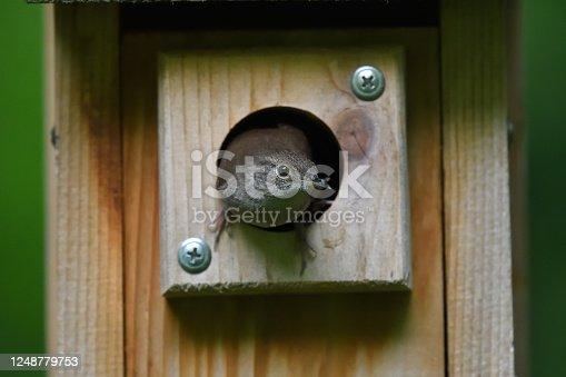 istock House wren nesting in birdhouse 1248779753