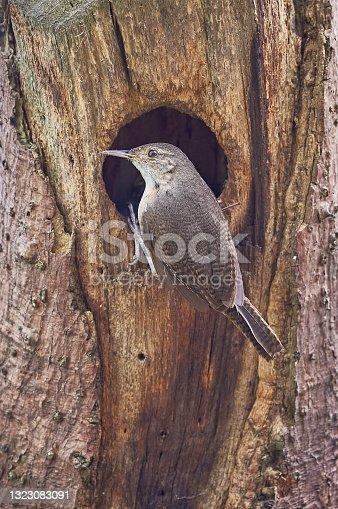 istock House wren - Troglodytes aedon. Wren bird entering its nest in a dry tree 1323083091