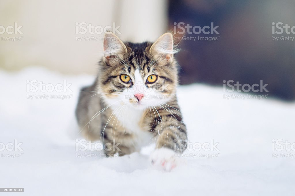 Housecat walking towards the camera in the snow stock photo