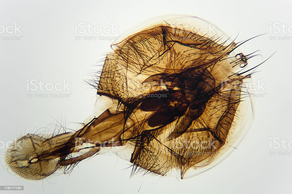 Housefly mouth parts royalty-free stock photo