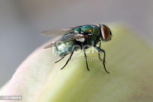 Fly, flies, house fly, horse fly, fruitfly