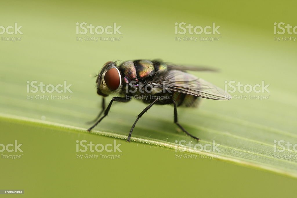 Housefly royalty-free stock photo