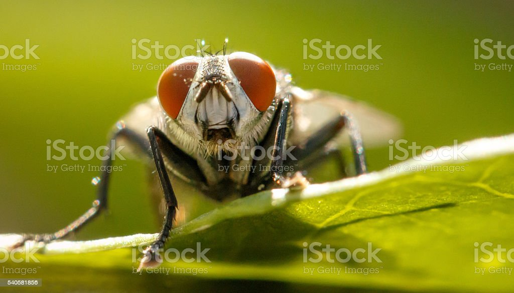 Housefly stock photo