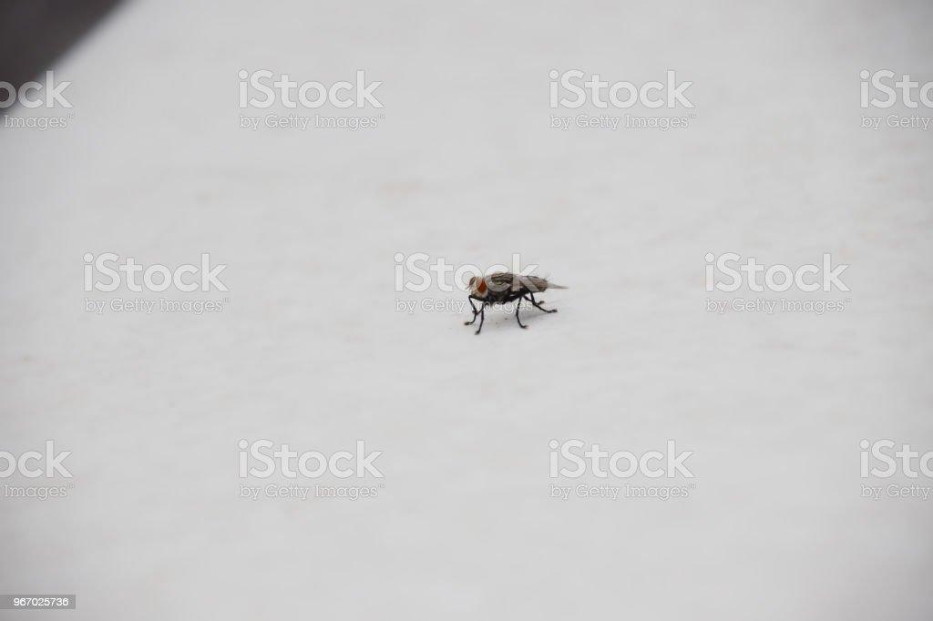 Housefly stock photo