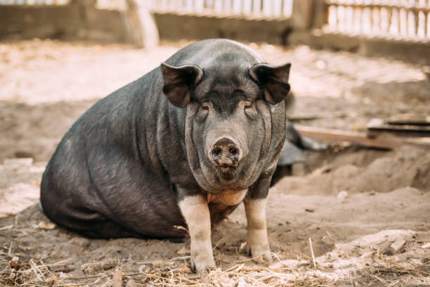 Household A Large Black Pig In Farm. Pig Farming Is Raising And Breeding Of Domestic Pigs. It Is A Branch Of Animal Husbandry. Pigs Are Raised Principally As Food stock photo