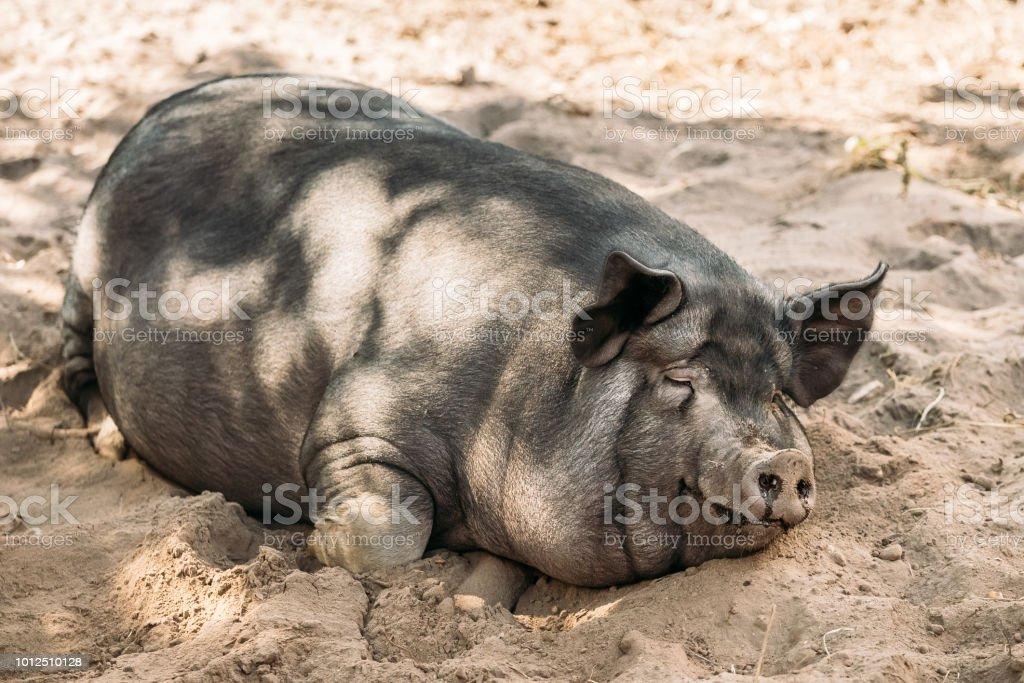 Gute schwarze Schweine Lesben lieben Muschi