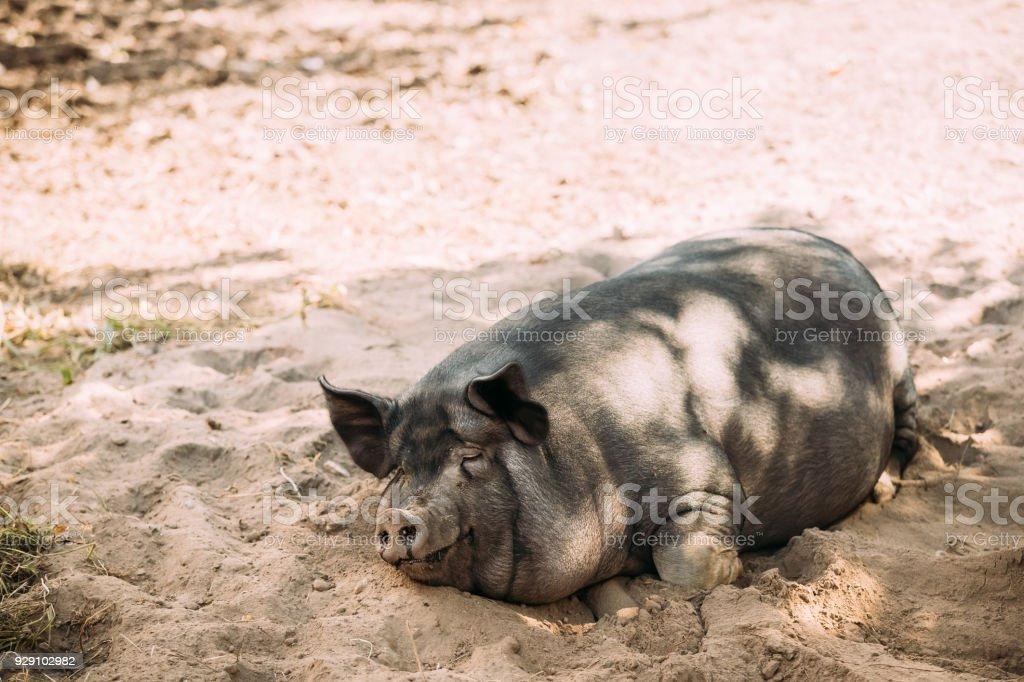 Foto eines großen schwarzen Schwein