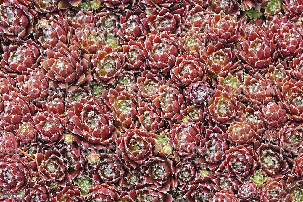 houseleek [genus Sempervivum] Macro royalty-free stock photo