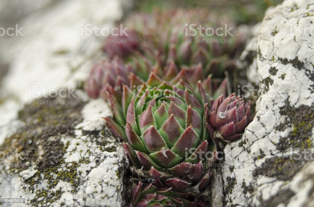 houseleek in nature stock photo