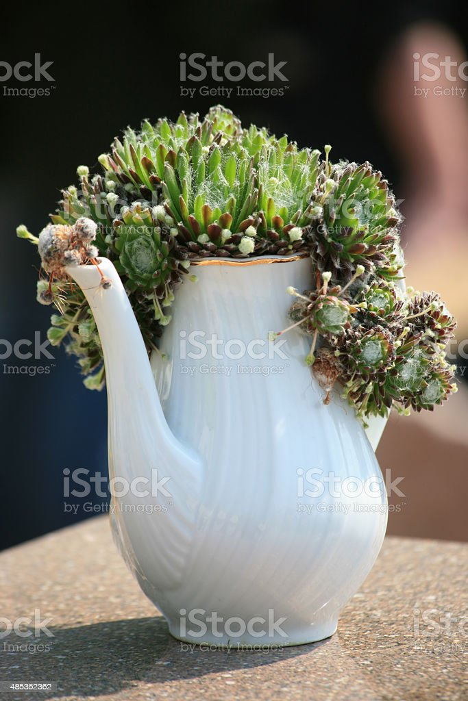 Houseleek or Liveforever (Sempervivum) plant in a coffeepot stock photo