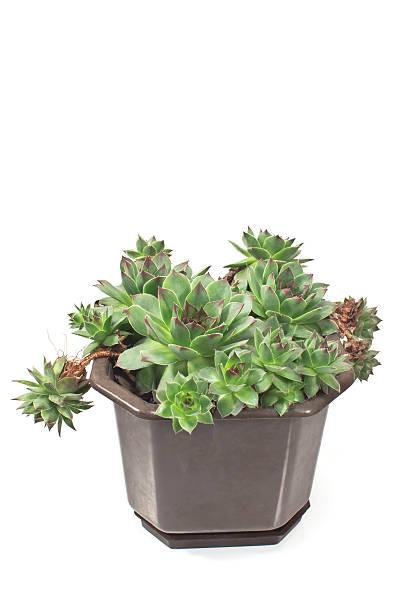 hauswurz pflanze (sempervivum) in pot isolated on white - dachwurz stock-fotos und bilder