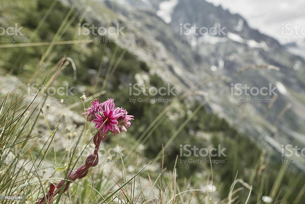 houseleek Sempervivum tectorum in the Alps stock photo