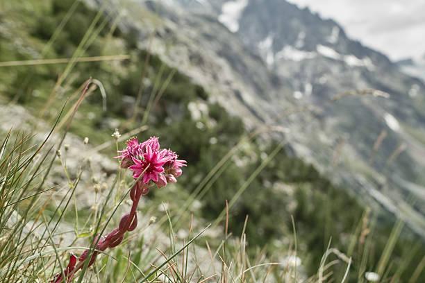 hauswurz sempervivum tectorum in den alpen - dachwurz stock-fotos und bilder