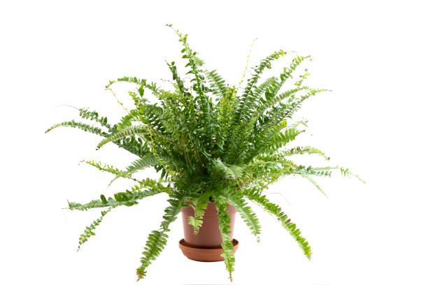 hauspflanzenkonzept. grüne blumenpflanze wächst in braunen topf isoliert auf weißem hintergrund mit kopierplatz für text - farn stock-fotos und bilder