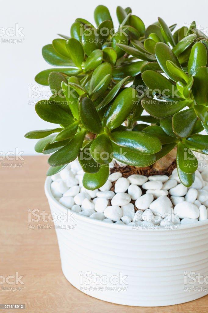 houseplant Crassula ovata jade plant money tree in white pot stock photo