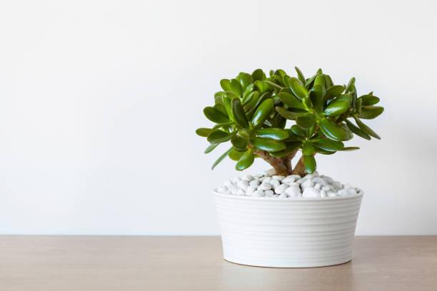 houseplant Crassula ovata jade plant money tree in white pot houseplant Crassula ovata jade plant money tree in white pot money tree stock pictures, royalty-free photos & images
