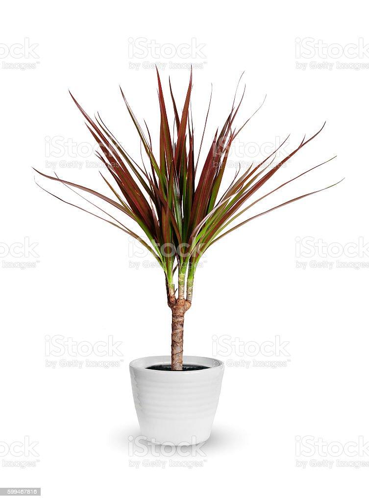 Houseplant - dracaena marginata a potted plant isolated stock photo