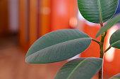 Houseplant Ficus elastica large leaves closeup