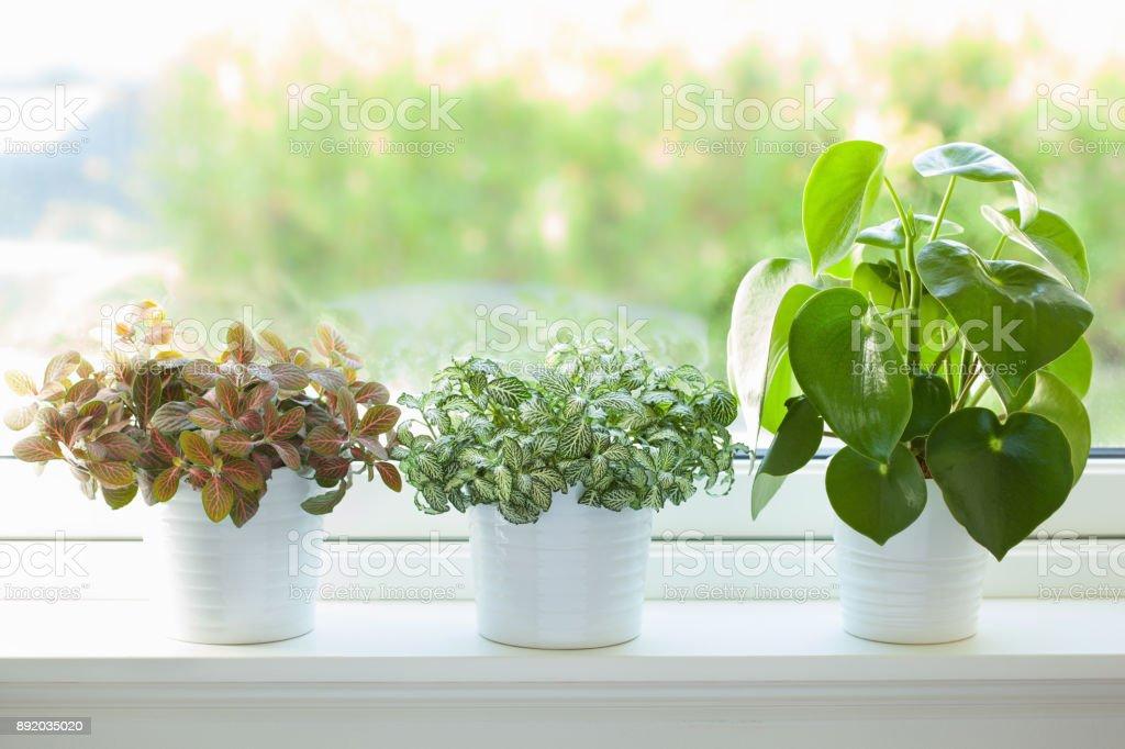 houseplant fittonia albivenis and peperomia in white pot stock photo