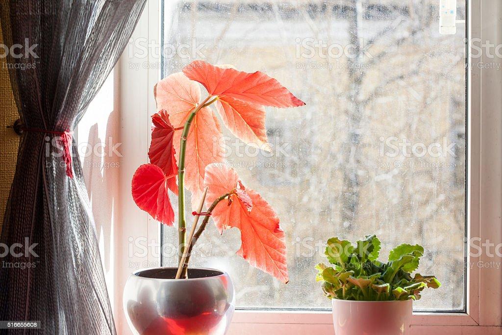 houseplant flowerpots on the windowsill, dusty glass, spring still life stock photo