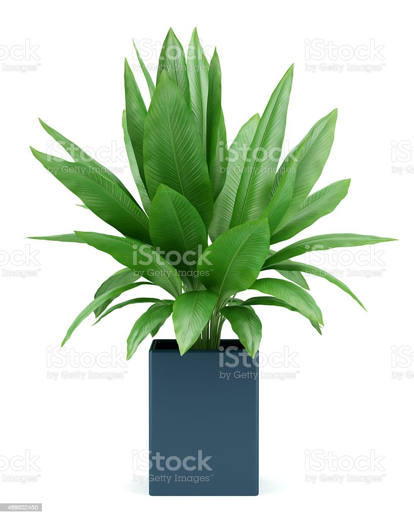 houseplant in pot isolated on white background royalty-free stock photo