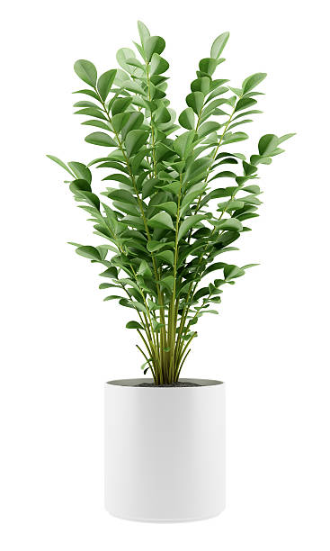 houseplant in pot isolated on white background stock photo