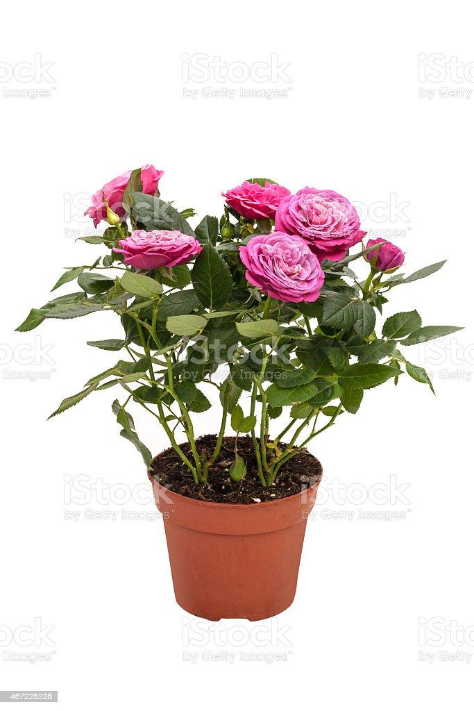 Pianta Da Interni Mini Con Fiori Rose Rosse In Un Vaso Marrone Foto Stock  Royalty