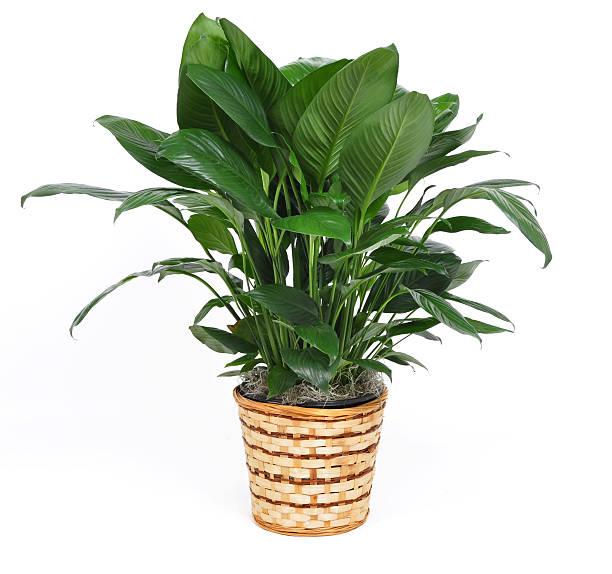 Zimmerpflanze – Foto