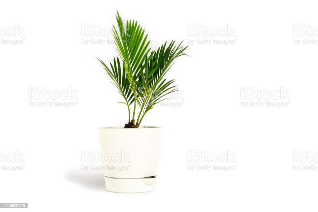 Houseplant small green palm tree (Chamaedorea Hyophorbeae Hamedorea Bridble) in white flower pot isolated on white background. royalty-free stock photo
