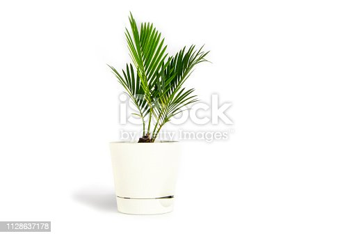 Houseplant small green palm tree (Chamaedorea Hyophorbeae Hamedorea Bridble) in white flower pot isolated on white background