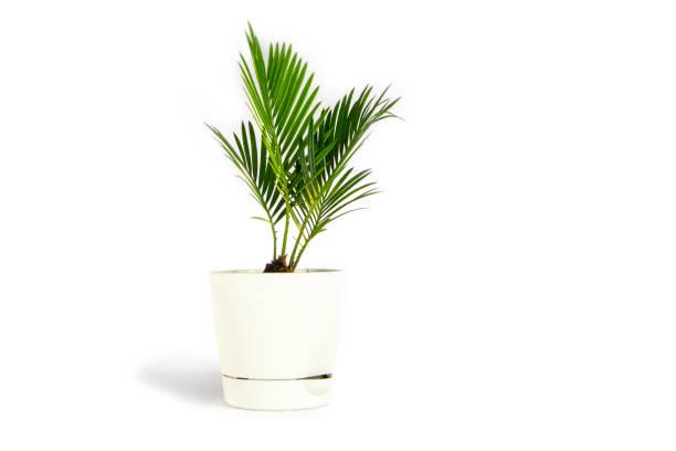 Houseplant small green palm tree (Chamaedorea Hyophorbeae Hamedorea Bridble) in white flower pot isolated on white background. stock photo