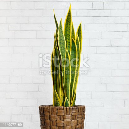 Houseplant snake plant in diy pot over white brick wall, crop