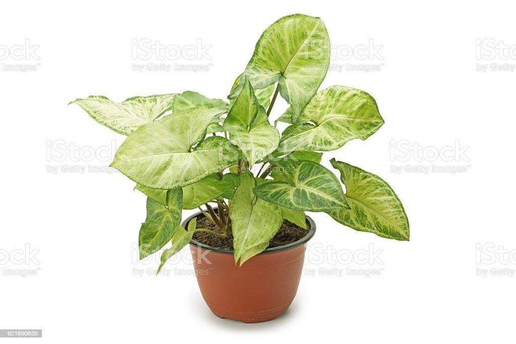 houseplant Syngonium stock photo