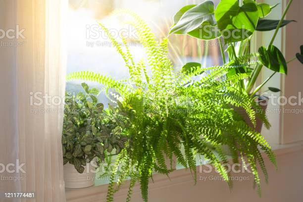 Photo of houseplants fittonia, nephrolepis and monstera in white flowerpots on window