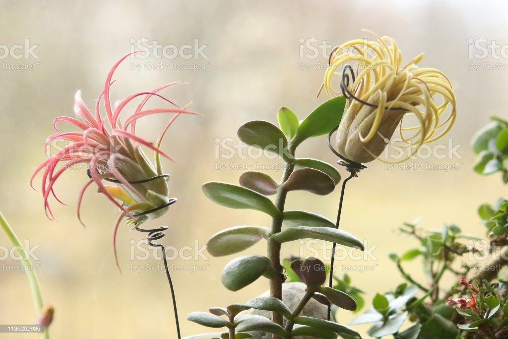 Houseplants growing on windowsill: air plant Tillandsia ionantha and Jade plant.