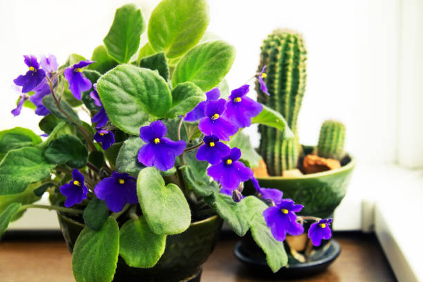 Houseplants Potted African Violet stock photo