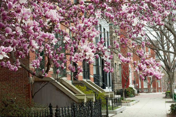 Houses with blooming magnolia in Baltimore stock photo